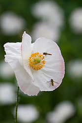 Papaver rhoeas 'Bridal Silk' with hoverfly. Poppy