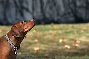 SHOT 12/25/2007 - Tanner, a three year-old male Vizsla focuses his attention skyward while chasing after a frisbee in a park in Albuquerque, N.M. The Hungarian Vizsla (pronounced VEEZH-luh (zh as in vision)), is a dog breed originating in Hungary. Vizslas are known as excellent hunting dogs, and also have a level personality making them suited for families.The Vizsla is a medium-sized hunting dog of distinguished appearance and bearing. Robust but rather lightly built, they are lean dogs, have defined muscles, and are similar to a Weimaraner but smaller in size. .(Photo by Marc Piscotty/ © 2007)