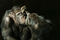 Chimpanzees relax in the sun at Edinburgh Zoo's Budungo Trail. The exhibit boasts a huge indoor-outdoor environment that can house up to 40 chimps. <br /> <br /> Pictured: One of the juvenile chimpanzees closely examine the eyes of an older chimpanzee