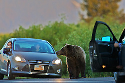 A Bear Jam in Grand Teton National Park. Grizzly sow 610 stops traffic until it is safe for her cubs to cross the road.