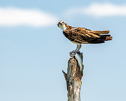 Osprey looking right at the camera with it's fresh meal in it's talons, Lake Apopka Wildlife Drive, Florida. Image taken by Ed Aldridge with a NIKON Z 6_2 and 500mm f/4D at 500mm, ISO 2500, f8, 1/1250.