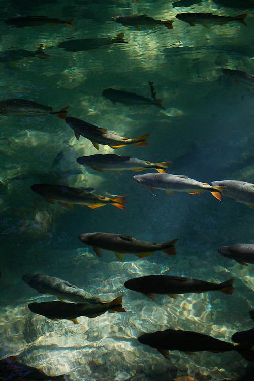 Bonito_MS, Brasil.<br /> <br /> Piraputangas (Brycon orbygnianus) no Rio Formoso em Bonito Mato Grosso do Sul.<br /> <br /> Piraputangas fish (Brycon orbygnianus) in Rio Formoso in Bonito Mato Grosso do Sul.<br /> <br /> Foto: JOAO MARCOS ROSA / NITRO