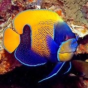 Blue Girdled Angelfish inhabit reefs. Picture taken Lembeh Straits, Sulawesi, Indonesia.