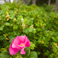 Beach Rose, Rosa Rugosa, at Wonderland on the coast of Maine's Acadia Narional Park.