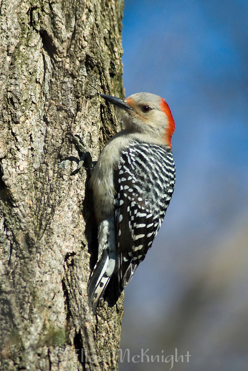 Red-bellied Woodpecker (Melanerpes carolinus) in Central Park, New York City