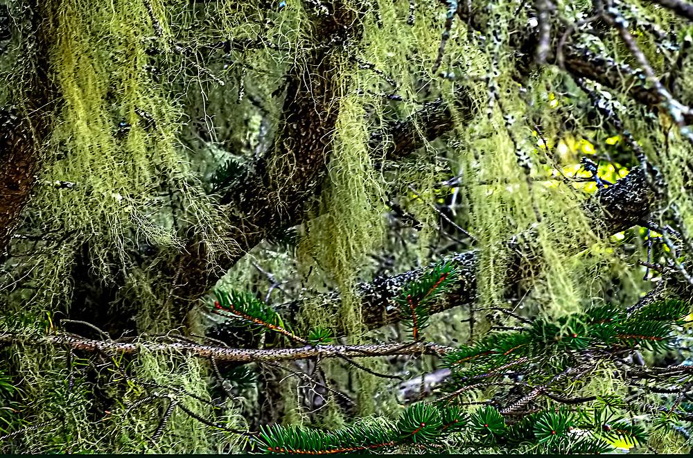 Exuberant growth of lichen in a Fir tree.