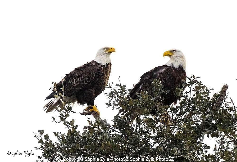 Bald Eagle Conversation