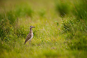 Double-striped Thick-knee (Burhinus bistriatus)<br /> Savannah<br /> Rupununi<br /> GUYANA. South America<br /> RANGE: Central and South America from southern Mexico south to Colombia, Venezuela and northern Brazil.
