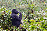 Mountain Gorilla (Gorilla berengei berengei) resting in its natural habitat in the forest of Bwindi Impenetrable National Park, Uganda.