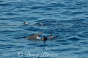 eastern spinner dolphins, Stenella longirostris orientalis, socializing at surface, offshore from southern Costa Rica, Central America ( Eastern Pacific Ocean )