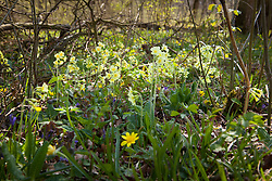 Oxlips, bluebells, ground ivy and celandine growing wild in a coppiced area of Hayley Wood, Cambridgeshire. Primula elatior