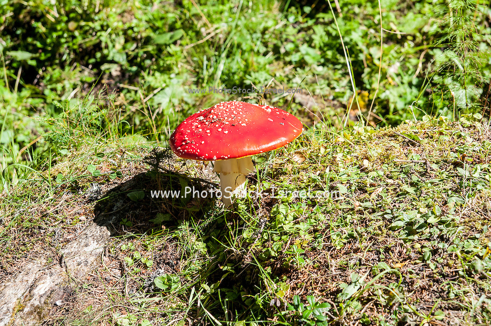 Classic red and white potted toadstool. Fly agaric or Fly amanita (Amanita muscaria) Photographed in Tyrol, Austria