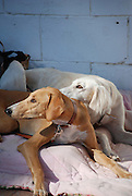 Two lying saluki dogs one brown one white both looking to the left