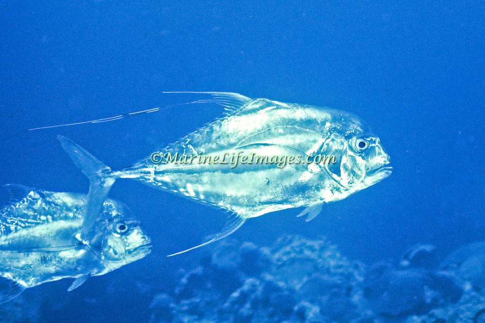 African Pompano inhabit open water in Tropical West Atlantic and circumtropical; picture taken Gulf of Mexico.