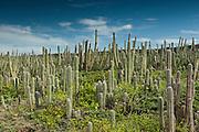 Datu Cactus (Ritterocereus griseus)<br /> Slagbaai National Park<br /> BONAIRE, Netherlands Antilles, Caribbean