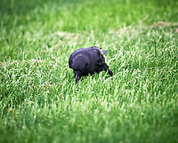 American Crow. Image taken with a Nikon D4 camera and 600 mm f/4 VR lens