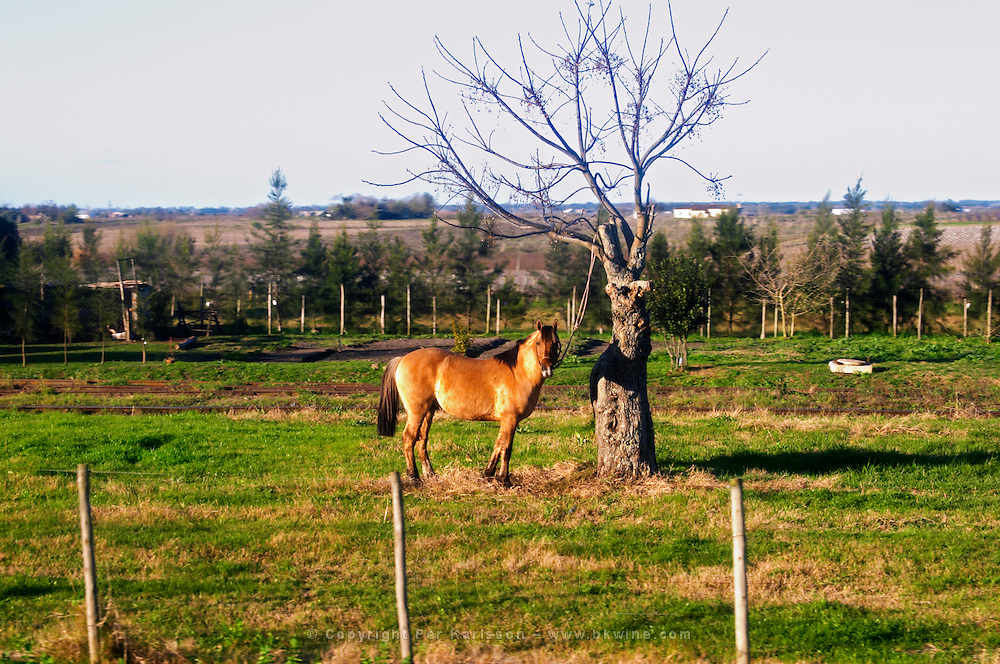 A horse standing in a field tied to a tree with no leaves looking at the camera at sunset. Bodega Juanico Familia Deicas Winery, Juanico, Canelones, Uruguay, South America