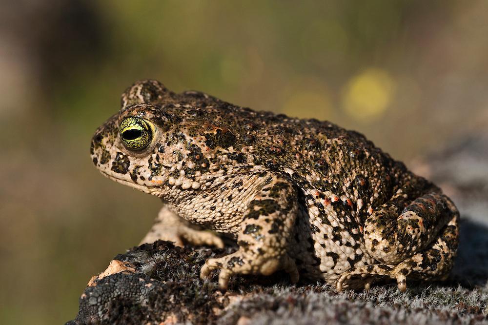 Natterjack Toad (Bufo calamita)<br /> Sierra de Andújar Natural Park, Mediterranean woodland of Sierra Morena, north east Jaén Province, Andalusia. SPAIN<br /> RANGE: w & central Europe e to Russia & UK & Ireland.<br /> <br /> Mission: Iberian Lynx, May 2009<br /> © Pete Oxford / Wild Wonders of Europe<br /> Zaldumbide #506 y Toledo<br /> La Floresta, Quito. ECUADOR<br /> South America<br /> Tel: 593-2-2226958<br /> e-mail: pete@peteoxford.com<br /> www.peteoxford.com