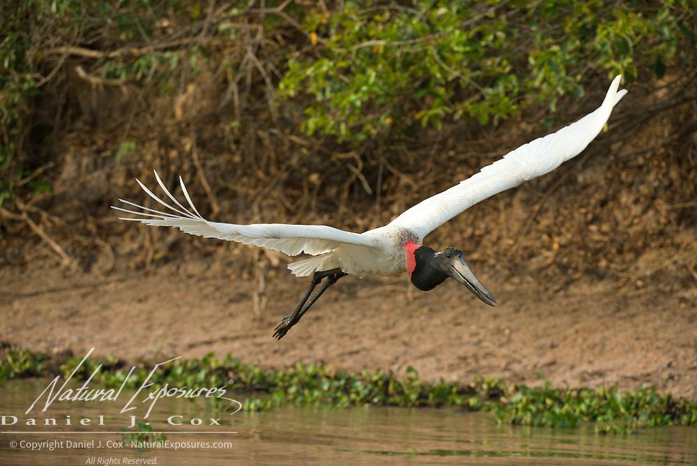 Jabiru stork, in flight, Pantanal, Brazil.