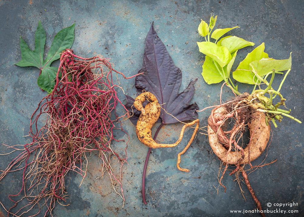 Sweet potatoes - Ipomoea batatas 'Tahiti', 'Tatakoto' and 'Makatea'