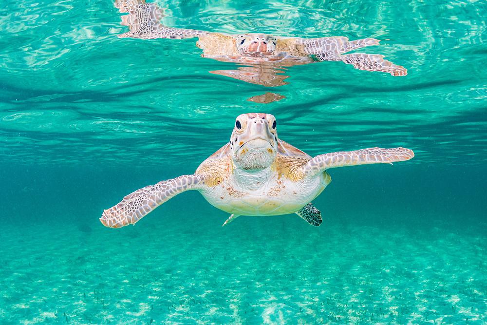 Green sea turtle (Chelonia mydas) near the surface in shallow water, Eleuthera, Bahamas.