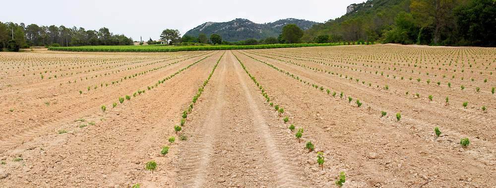 Domaine de l'Hortus. Pic St Loup. Languedoc. Young vines. First year vines recently newly planted. France. Europe. Vineyard.