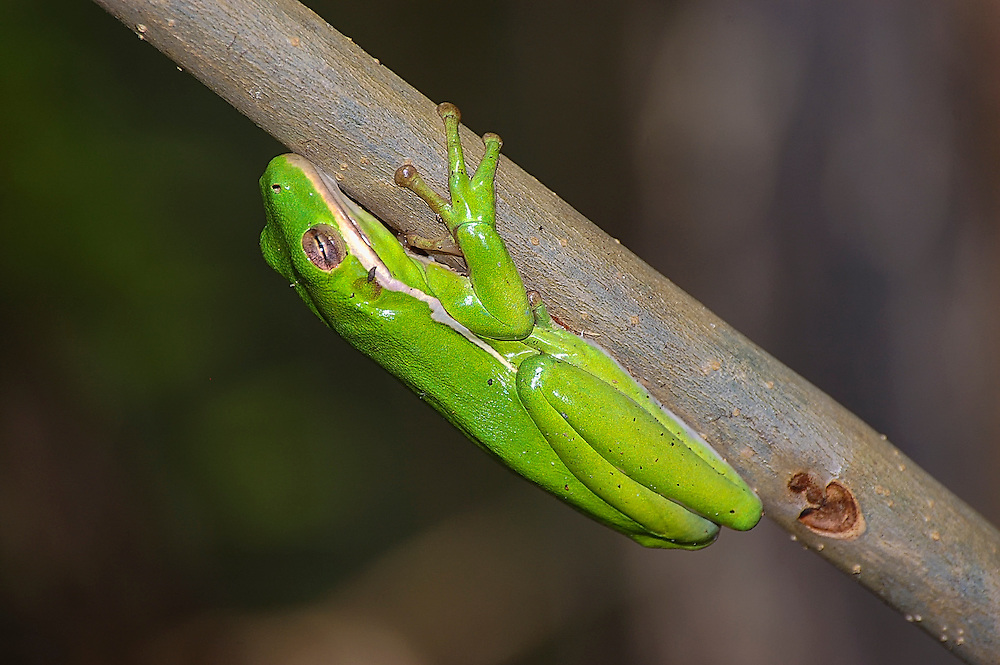 One of the most common wetland treefrogs of the American Southeast, these brilliantly green predators are found (and most often heard) among the aquatic plants such as cat-tails and arrowheads on the edges of swamps, lakes, creeks and ponds.