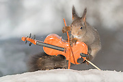 "EXCLUSIVE<br /> Photographer Pictures Squirrels With Tiny Musical Instruments Through Kitchen Window<br /> <br /> Some years ago, squirrels started to come to photographer Geert Weggen's  garden, He decided to build an outside studio from a balcony and started to shoot photos his kitchen window, Some days upto 6 squirrels visit Geert daily.<br /> <br /> This year Geert worked on an idea for a children's book, ""Squirrel Teaching You The Alphabet"", and was confronted with some letters like an object starting with an ""X"". That became a squirrel photo with a xylophone. From there Geert started doing a series of squirrel photos with music instruments. ""It took months to get some music instruments with the right size. I try to bring some magic, wonder and happiness with my work"", these are real photos. Sometimes I take away a wire or some food.<br /> <br /> Photo Shows: ROCK VIOLIST....red squirrel in snow with violin  <br /> ©Geert Weggen/Exclusivepix Media"