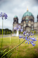 Purple flowers in the landscape of the Berlin Cathedral in Berlin, Germany.