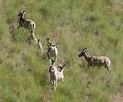Wild but tagged Bighorn Sheep (Ovis canadensis) flee upslope along Dug Bar Road in Hells Canyon National Recreation Area, north of Imnaha, Oregon, USA. On May 20, 2014, the hills were green with spring grass.