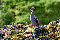 Red-legged cormorant (Phalacrocorax gaimardi) in Chile.