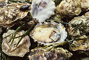 Freshly caught batch of Gold Creek Oysters with seaweed and with one cracked open to show the meat