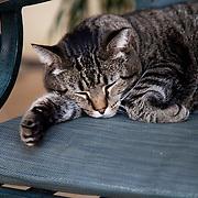 Sleeping tabby cat at Kauffman Memorial Gardens in Kansas City, MO.