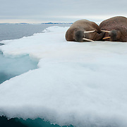 Walrus resting on an ice flow. Svalbard, Norway