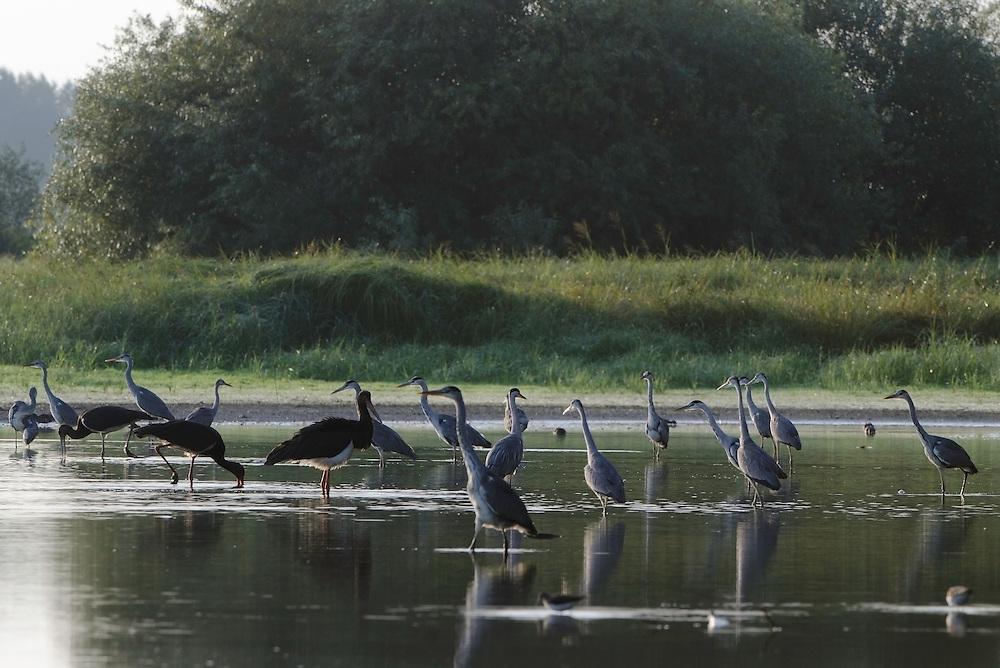 Mission: Black Storks River Elbe Germany; Biosphärenreservat Niedersächsische Elbtalaue; Biosphere Reserve Middle Elbe; Graureiher; Grey Heron; Ardea cinerea; Schwarzstorch; Ciconia nigra; Black Stork