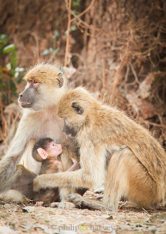 Baboon family at Luangwa River Valley, Zambia, Africa