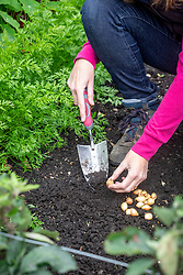 Planting onion sets in autumn using a trowel