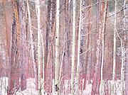 Winter aspen forest Methow Valley Washington State