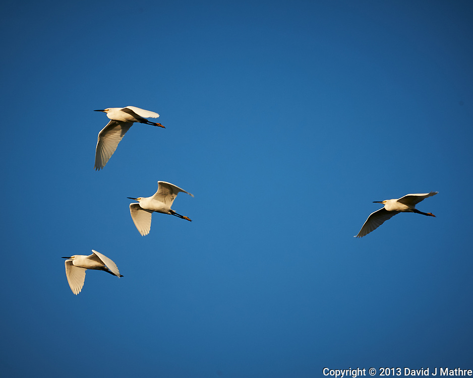 Four Snowy Egrets flying in formation. Early morning at Biolab Road in Merritt Island National Wildlife Refuge. Image taken with a Nikon D700 camera and 18-300mm VR lens (ISO 200, 300 mm, f/11, 1/500 sec).
