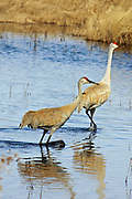 Sandhill cranes wading in a shallow marsh.