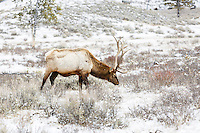 Elk at the trailhead to Wraith Falls<br /> <br /> ©2015, Sean Phillips<br /> http://www.RiverwoodPhotography.com