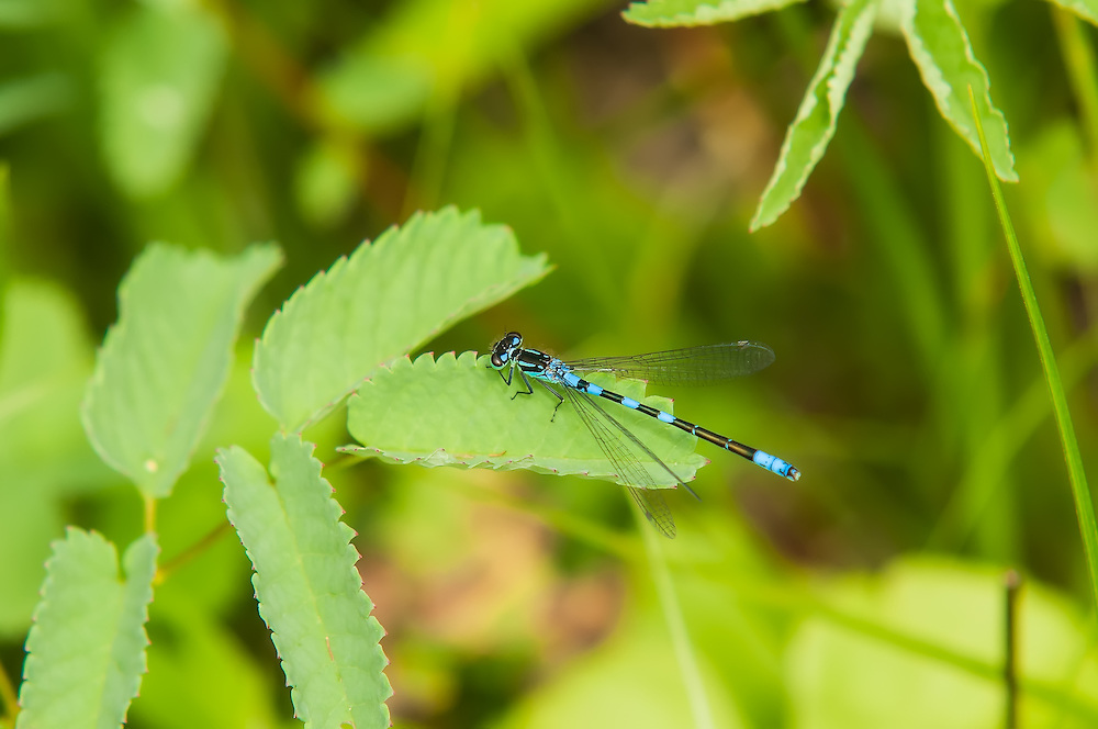 A rare male subarctic bluet rests on the shore of Lake Elizabeth in the Cascades Mountains in Washington's Steven's Pass. Found most often in Alaska, the Yukon, Northwest Territories and most of the rest of Northern Canada, these beautiful members of the damselfly family occasionally are found in the extreme northern contiguous United States.