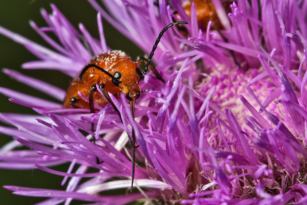 A red blister beetle on a purple Texas thistle flower, Cirsium texanum.