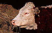 A87CM0 Hereford cow eating hay