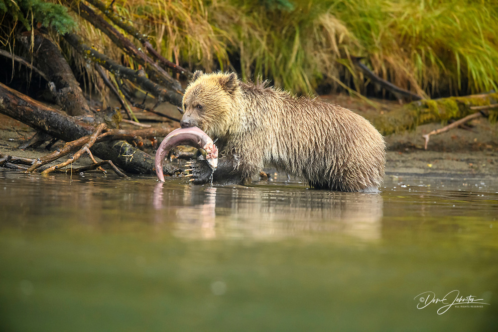 Grizzly bear (Ursus arctos)- First-year cub managing spawning salmon retrieved from the Chilko River, Chilcotin Wilderness, BC Interior, Canada