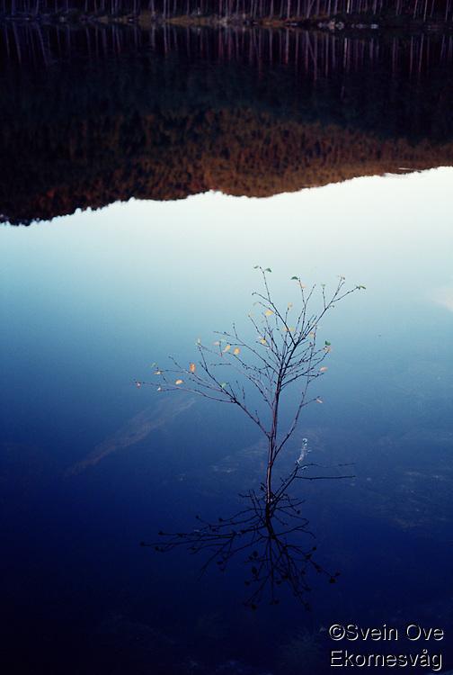 Bjørk i stille vann.<br /> Foto: Svein Ove Ekornesvåg