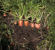 Carrots in soil, Suffolk farming landscape scenery, East Anglia, England