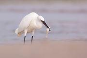 Little egret (Egretta garzetta) catches fish while wading in a pool. This small white heron is originally native to warmer parts of Europe and Asia, Africa and Australia. It eats crustaceans, fish and insects that it catches in shallow water. Photographed in Israel in August