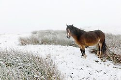 © Licensed to London News Pictures. 03/12/2020. Builth Wells, Powys, Wales, UK. A Welsh mountain pony forages for grass in a bleak winter landscape on the Mynydd Epynt range near Builth Wells in Powys, UK. Photo credit: Graham M. Lawrence/LNP