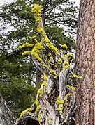 Yellow lichen covers a twisted tree on the Iron Creek to Teanaway Ridge Trail, Wenatchee National Forest, Blewett Pass, Washington, USA
